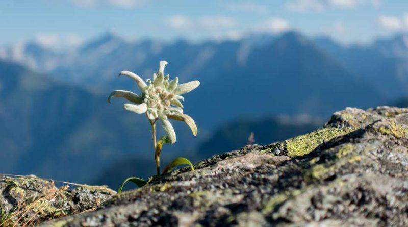 Floarea de colt (Edelweiss)
